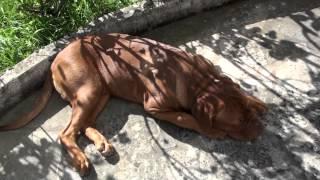 Dogue De Bordeaux : Haslan