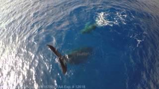 humpback-whale-sailing