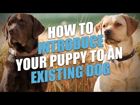 How To Introduce Your Puppy To An Existing Dog