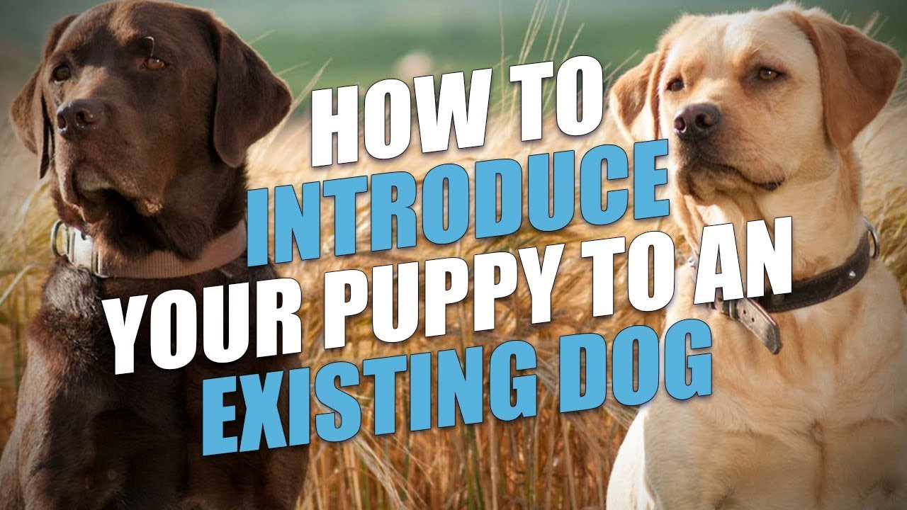 How to Introduce a New Puppy