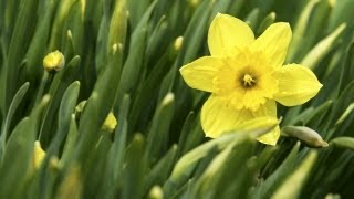 Teaching Kids How to Plant Daffodils | At Home With P. Allen Smith