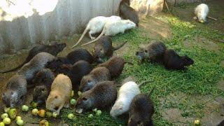 Нутрия,или просто водяная крыса ,кто же ты и с чем тебя едят?