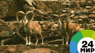 В горах Казахстана квадрокоптер снял на видео редкий вид животных - МИР 24