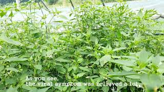 [Pepper virus]Plant virus inhibitor treatment on TSWV 3