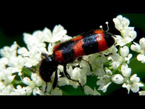 Коварный жук – Пестряк пчелиный или Пчеложук, Trichodes Apiarius
