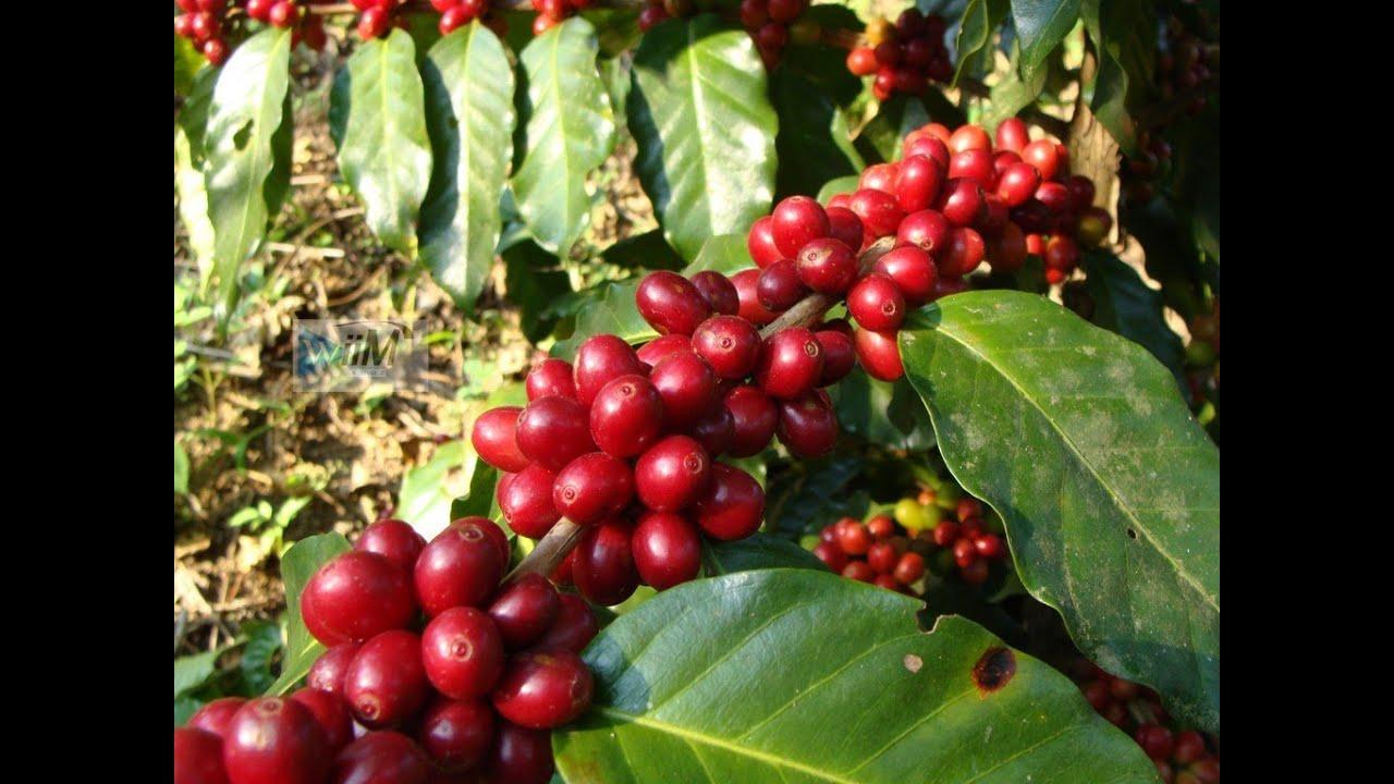 Cultivo De Cafe En Colombia