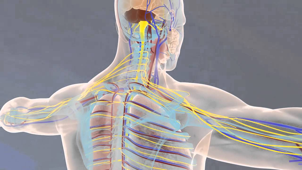 Of Anatomy and Physiology (2013 - 3D Animation) - YouTube