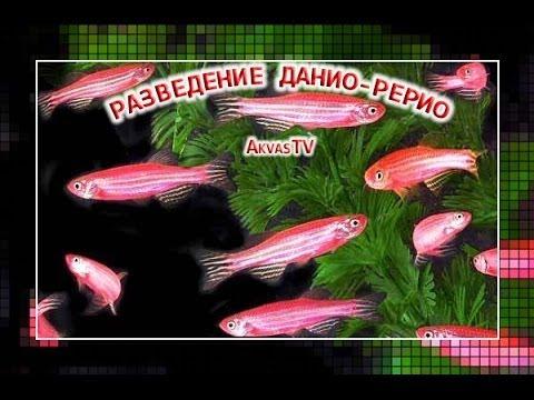 Аквариумные рыбки Данио, виды, фото, содержание