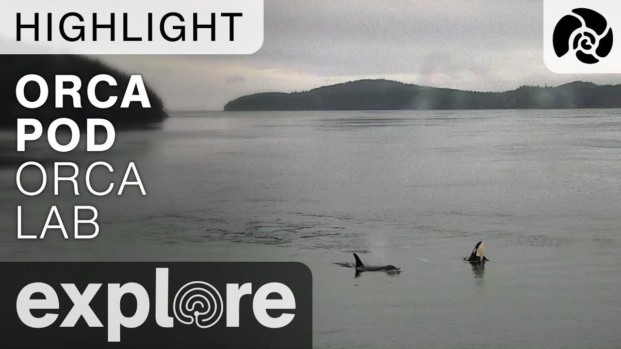 Orcas Swim By - Orca Lab - Live Cam Highlight