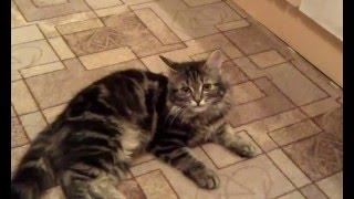 Сибирская кошка. Лисана. Мама ругает Лису, а Лисана всё понимает, хоть еще и котенок.