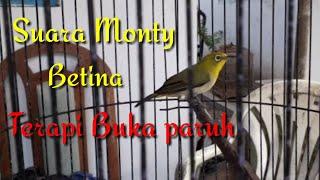 Download Lagu Suara Monty Betina untuk terapi Ngalas buka paruh mp3