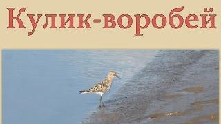 Кулик-воробей