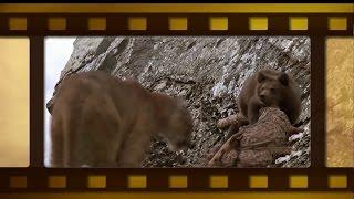 Медвежонок против пумы.  Фильм Медведь - 1988г
