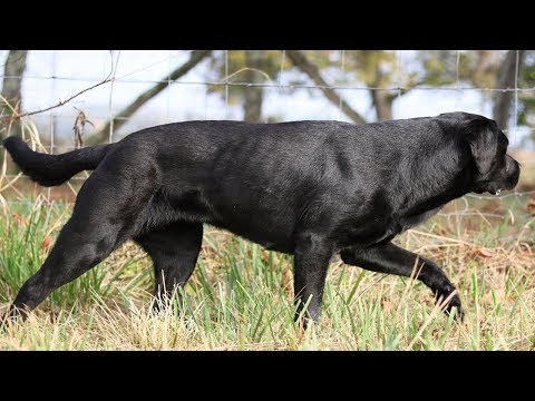 BEST OF LABRADOR | THE MOST STUNNING BLACK LABRADOR RETRIEVER