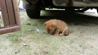山陰柴犬の子犬かわいいです(笑)