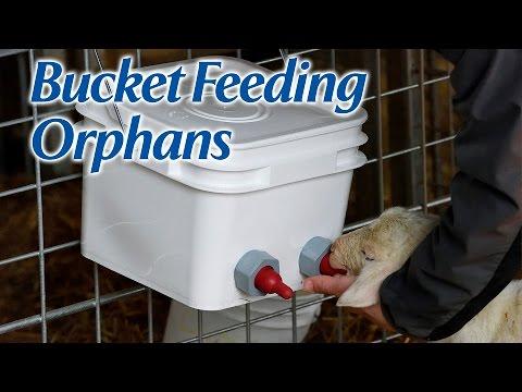 Bucket Feeding Orphan Lambs