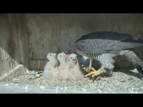 Great Spirit Bluff Falcon Cam ~ All Those Mouths To Feed 5.15.17