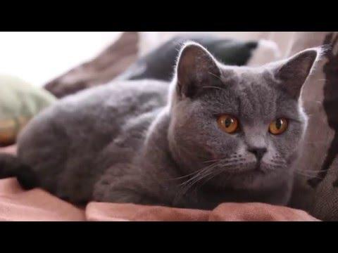British Shorthair Cat | Cassie | 20.03.2016