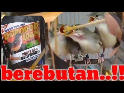 Dorodod Edan Meloloh Ciblek Pake Voer Dorodod Youtube