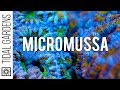 Micromussa Coral Care Tips