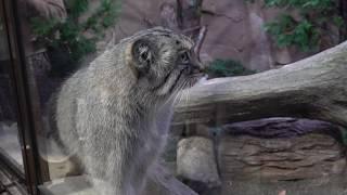 ボルくんのモフモフしっぽ 真ん中に割れ目が⁉︎ マヌルネコ アジアの森 那須どうぶつ王国にて 00148