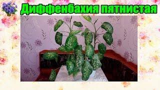 Диффенбахия пятнистая. Уход и размножение(Очередное видео о комнатных растениях из серии