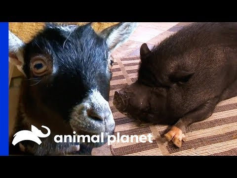 A Micro-Pig Or A Pygmy Goat: Which Farmyard Pet Would You Choose? | Pets 101
