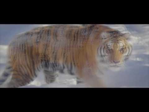 как котики тигры