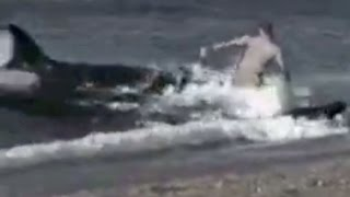KILLER WHALES EAT MAN ON BEACH
