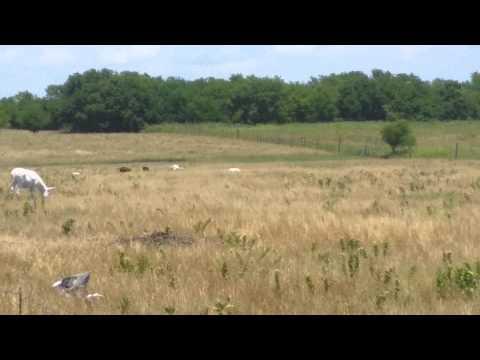 Organic Goat Farming Greenville, Texas All Natural Feeding