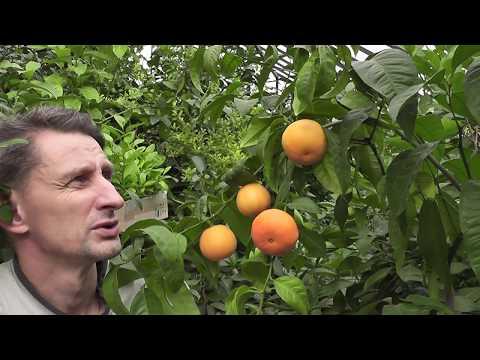 """Мандариновый гибрид Citrus """"Clemapo delice"""""""