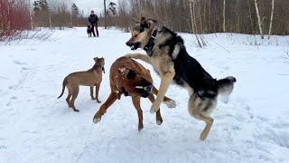 Лайка Бросилась в Драку Бой собак Лайка против Боксёра