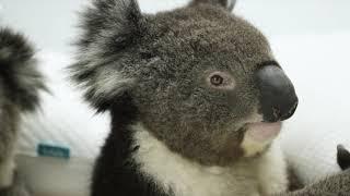 睡眠を大事に考える国、オーストラリアで最高評価を受けたコアラ・マッ...