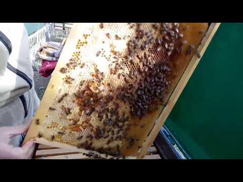 Осенний осмотр пчел, после закормки сахарным сиропом.