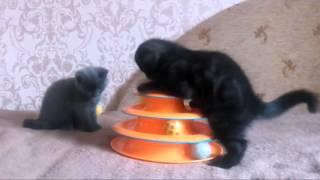 Шотландские котят.