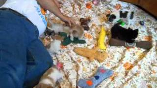 Chihuahua Puppies Candy And Anna Puppies 4 11 2011.wmv