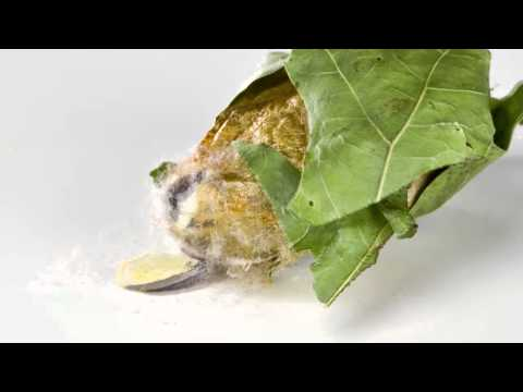 Actias Luna (moth) Emerging from Cocoon (Timelapse)