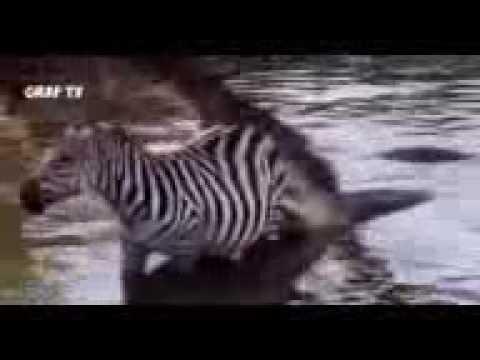 Download Biggest Wild Animal Attack #32   Lion, tiger, Anaconda, crocodile, Bear   Fight Until Death