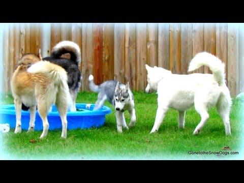 FIVE Siberian Huskies in our Yard!!