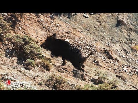 Heyecan dolu yaban domuzu avı- Yeni sezon 2021 |  Exciting wild boar hunting – New season