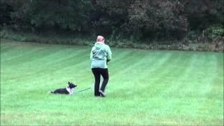 Dexter (border Collie) Trained Dog Demonstration