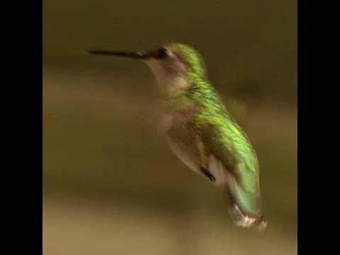 Hummingbirds have massive hearts to power their hovering flight