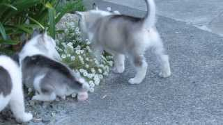 6 Male Siberian Husky Puppies - 5 Weeks Old - Part 2 Of 2