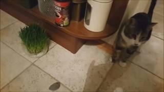 Кот приносит мышь/ Cat carrying mouse