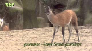 Wild Peers: Guanaco Family #01 - Lama guanicoe