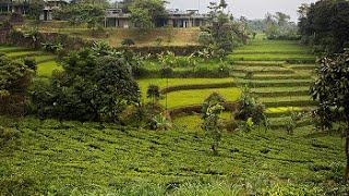 Tea Garden Resort, Subang, West Java, Indonesia - Best Travel Destination