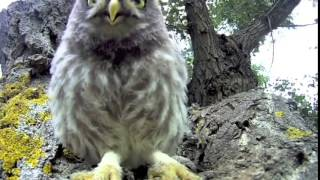 Young Owl Pee's on GOPRO Camera in front of his nest.