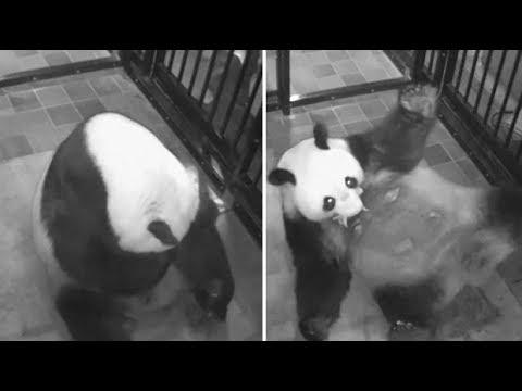 Rare giant panda cub born in Tokyo zoo