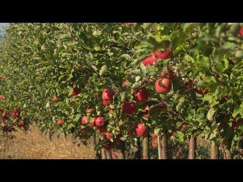 В 2018 году в Беларуси небывалый урожай яблок