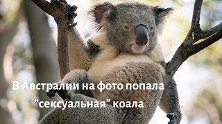 """В Австралии на фото попала """"сексуальная"""" коала"""